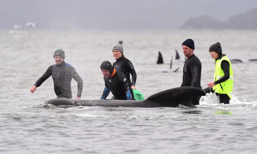 encalhe em massa de baleias