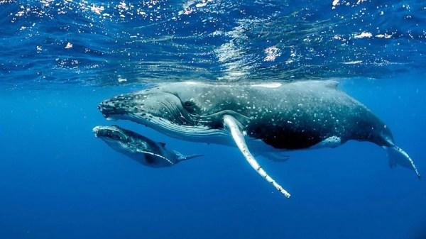 Os cetáceos respiram enquanto dormem
