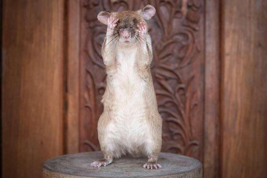 rato herói