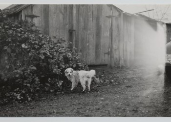 Um cachorro de pelo lanoso na Colúmbia Britânica. (Foto: Universidade de Victoria / Conselho de Liderança W̱SÁNEĆ)