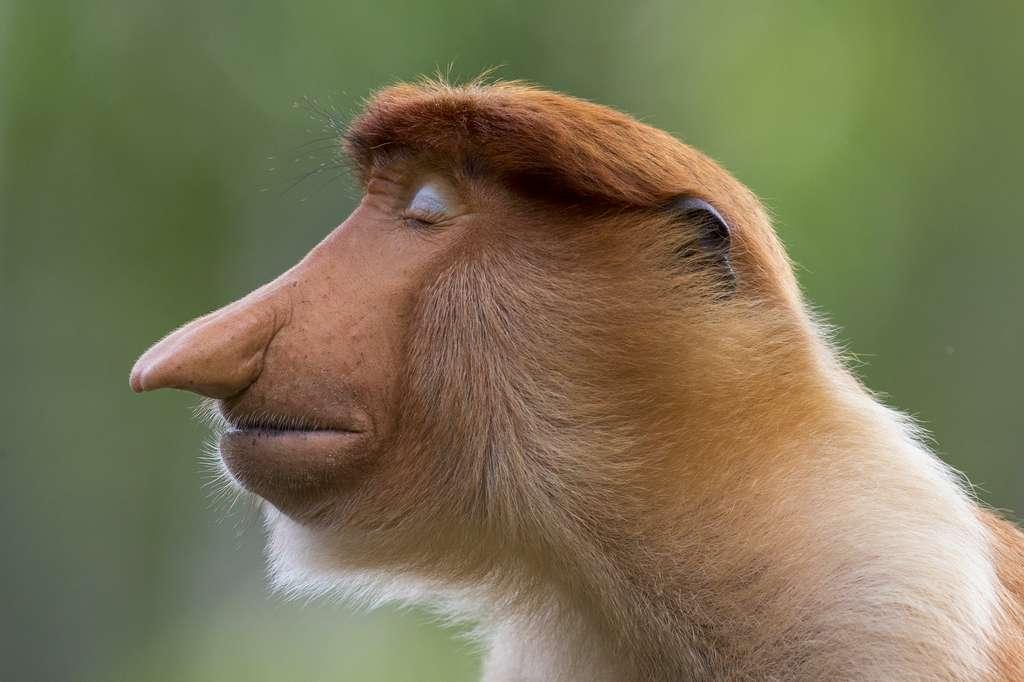 macaco narigudo no concurso Fotógrafo de Vida Selvagem do Ano