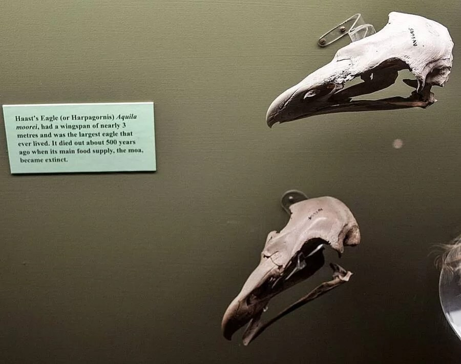 ossos da águia