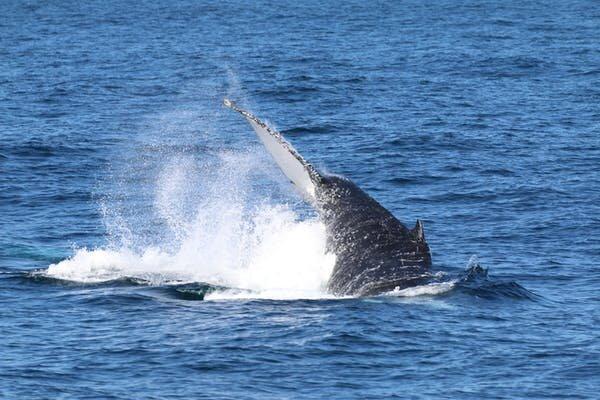 baleia jubarte nadando