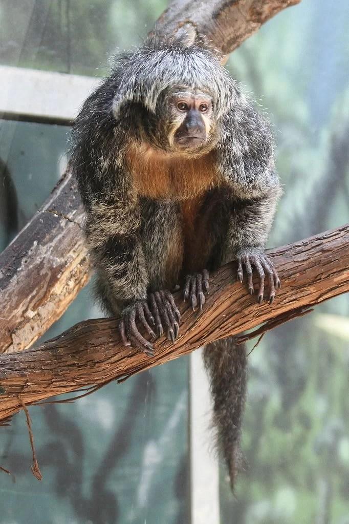 macaco fêmea