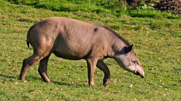Anta grandes mamíferos brasileiros