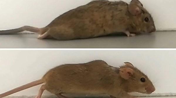 ratos-paralisados voltam a andar com terapia gênica
