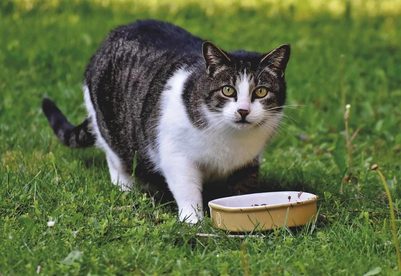 gato comendo