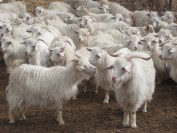 qualities_cashmere_goats