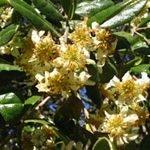 Buy dried Boldo Leaf, powder or capsules @ Herbosophy