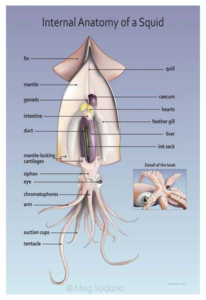 labeled diagram of octopus 2016 hyundai sonata speaker wiring natural science portfolio – meg sodano illustration & design