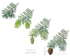 Hemlock Woolly Adelgid stages (mixed media)