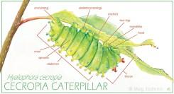 Cecropia Caterpillar (watercolor, digital)