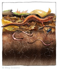 Red-backed Salamander (mixed media)
