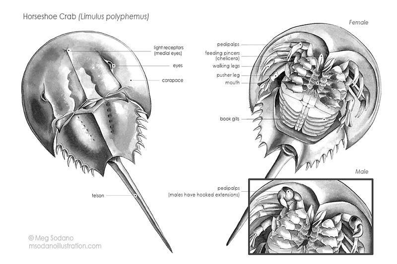 natural science portfolio  u2013 meg sodano  u2013 illustration  u0026 design