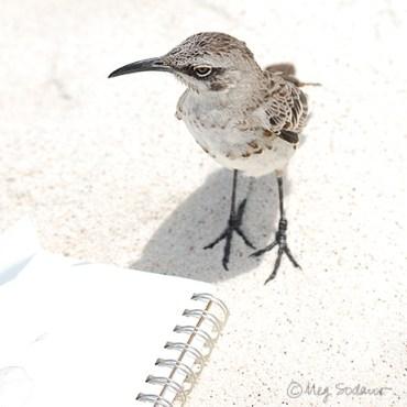 Española Mockingbird inspects my sketchbook