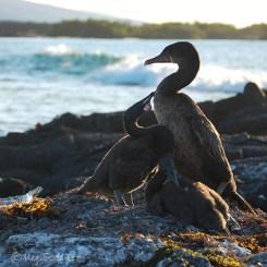 Flightless cormorant chicks with mother