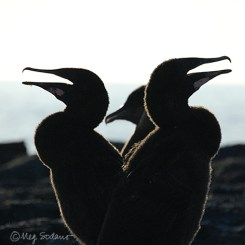 Same cormorant chicks, two weeks later