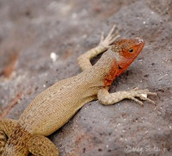 Lava lizard at Espanola