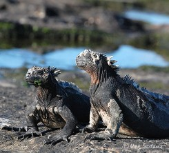 Marine iguanas at Fernandina