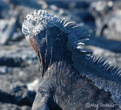Marine iguana at Fernandina