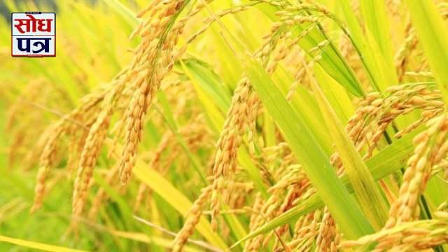 किसानलाई धान भित्र्याउने चटारो