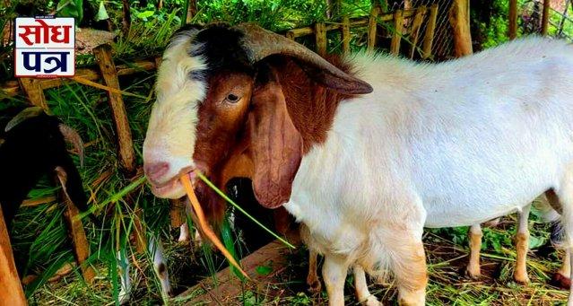 आम्दानीको प्रमुख स्रोत बन्दै किसानले व्यावसायिक रूपमा पालेका 'बोयर' बोका र बाख्रा