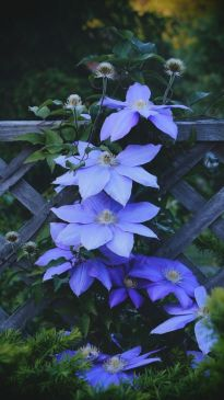 Periwinkle blue Clematis Great Gardens amp Ideas