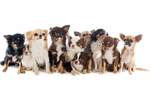 Il cane più piccolo del mondo (6)