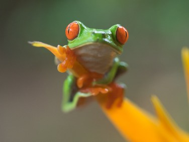 Red-eyed tree frog at Frog's Heaven