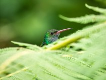 A Rufous-tailed Hummingbird perched among delicate fern fronds