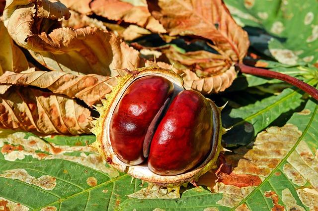 Fruit of Castanea sativa