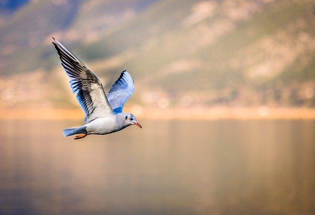 Seagull aerodynamics