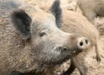 Definition of Wild Boar - What is, Meaning and Concept