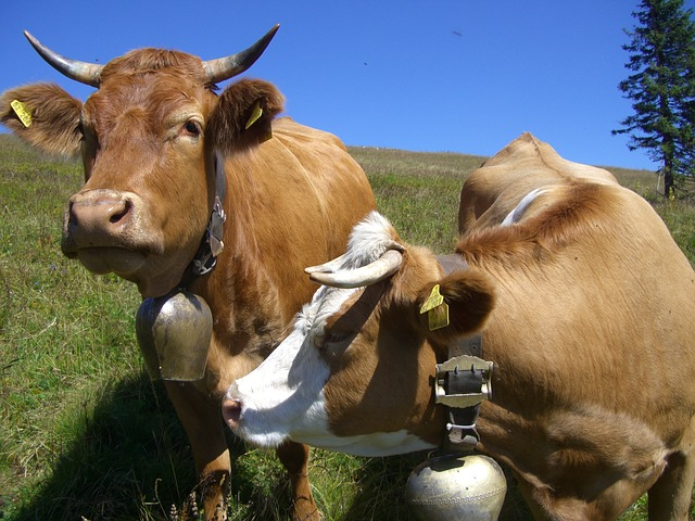 Changarro cows