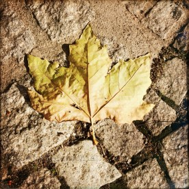 Platanenblatt der fatalen Sorte, flach auf dem Boden liegend