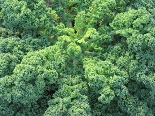 organic-cabbage-plant-1151307-1