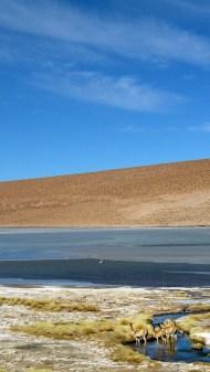 Vicuñas in a lagoon