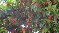 Red Jango-fruit!