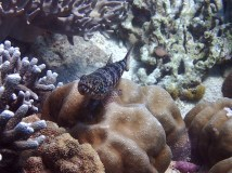 "These fishes are so funny. They are always ""sitting"" on some coral. I never see them swim!"