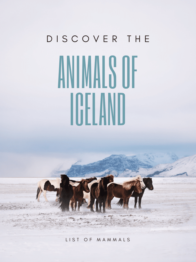 Animals of Iceland - Softback Travel