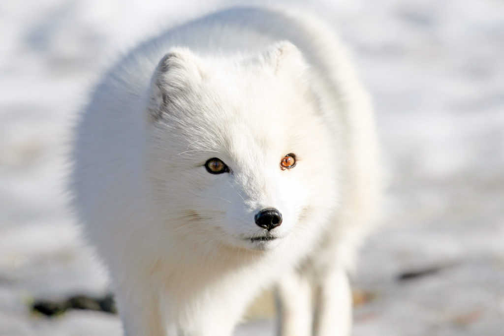 arctic fox of iceland