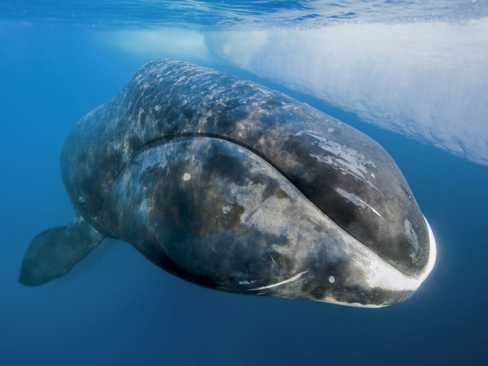 Bowhead whale - animals of iceland