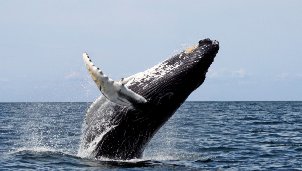 humpback whale - icelandic animal