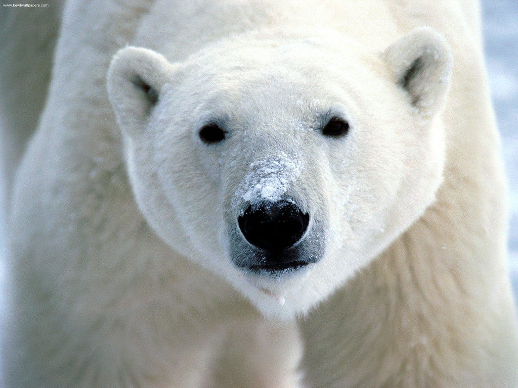 polar bear - icelandic animal