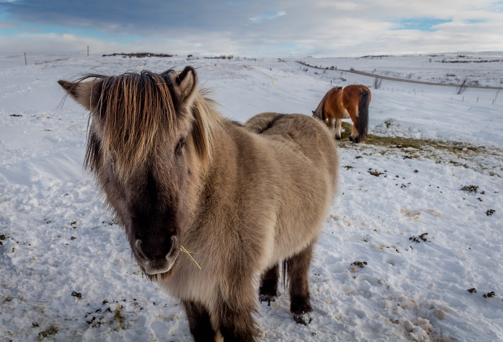 Icelandic horse in the snow