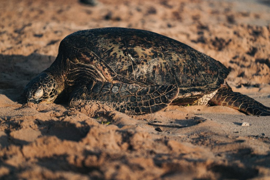 sea turtles are threatened by habitat loss due to rising sea levels