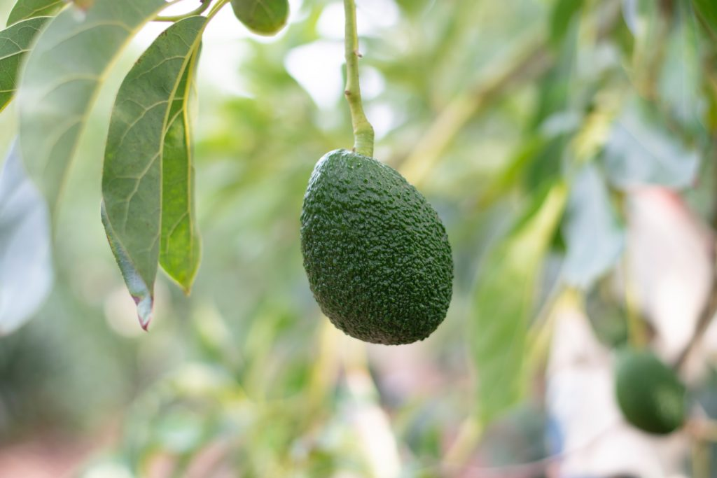 growing requirements of an avocado tree