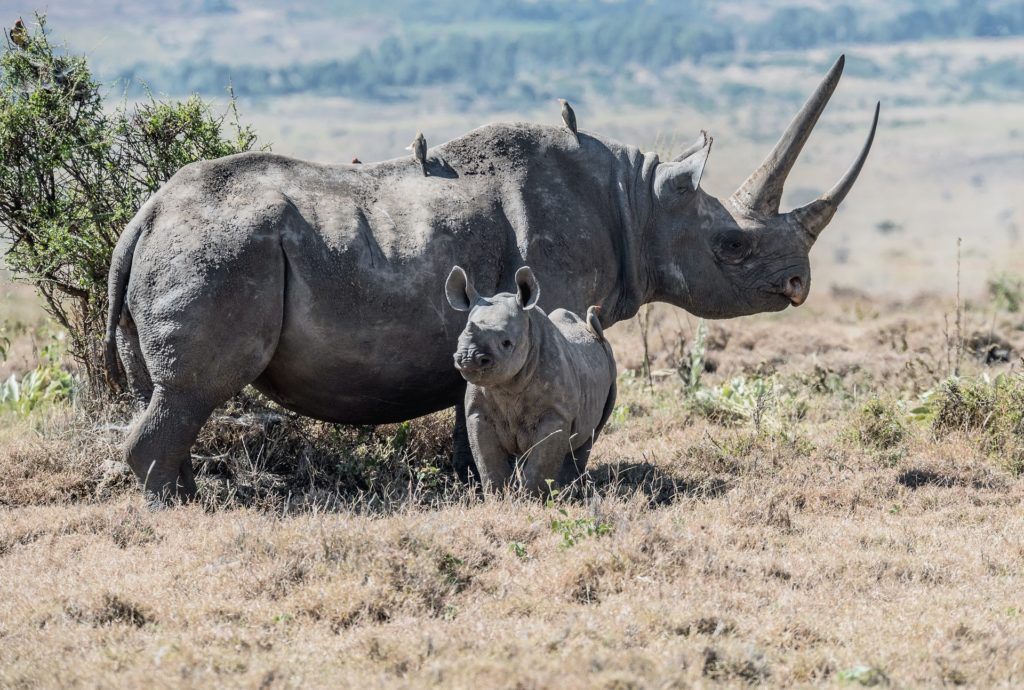 Black African Rhino - critically endangered