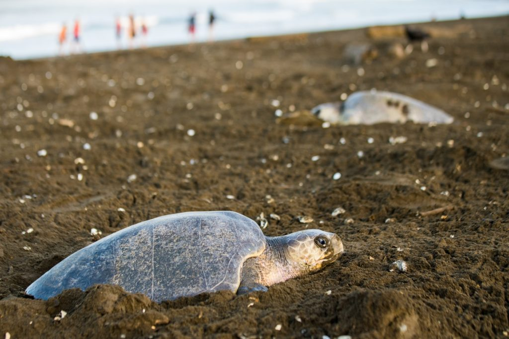 Best time to visit Costa Rica for turtle watching