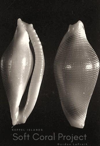 Crenavolva (Crenavolva) species